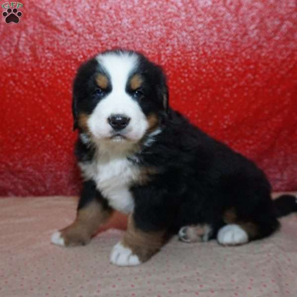 Patrick, Bernese Mountain Dog Puppy