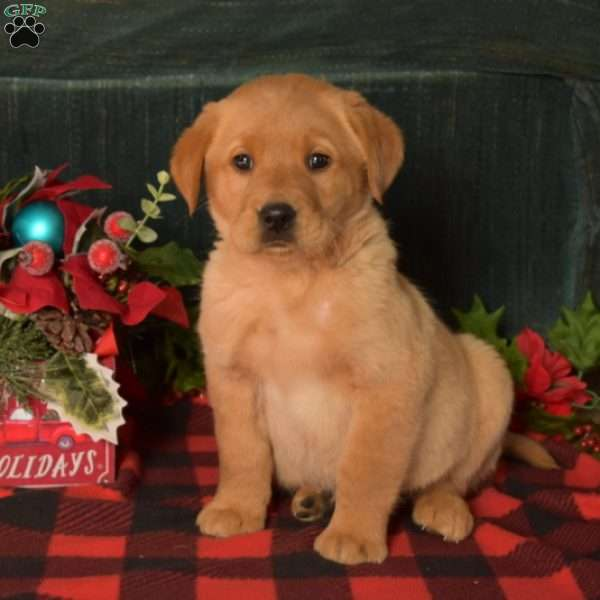Pauly, Golden Labrador Puppy