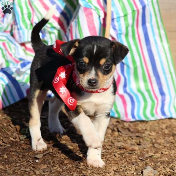 Rosabell, Chihuahua Mix Puppy