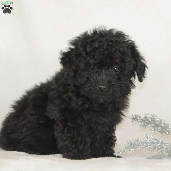 Roscoe, Miniature Poodle Puppy