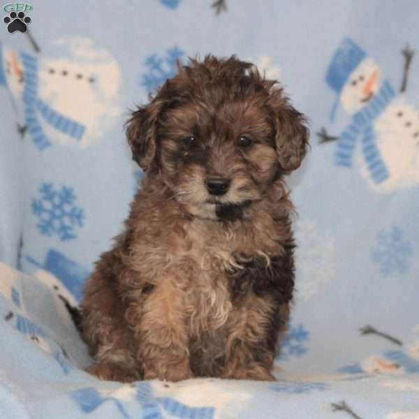 Sampson, Toy Poodle Mix Puppy
