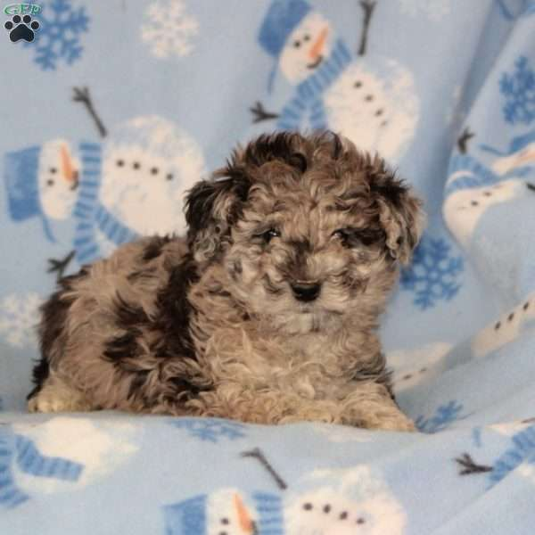 Sid, Toy Poodle Mix Puppy