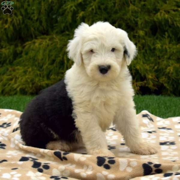 Sierra, Old English Sheepdog Puppy