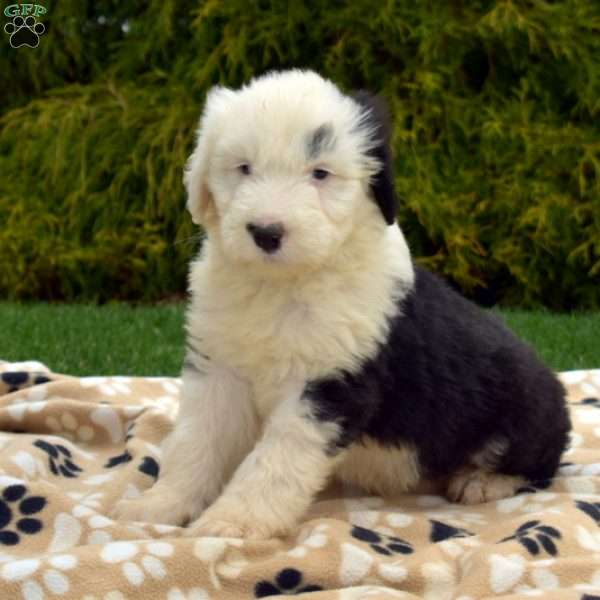 Snow Belle, Old English Sheepdog Puppy