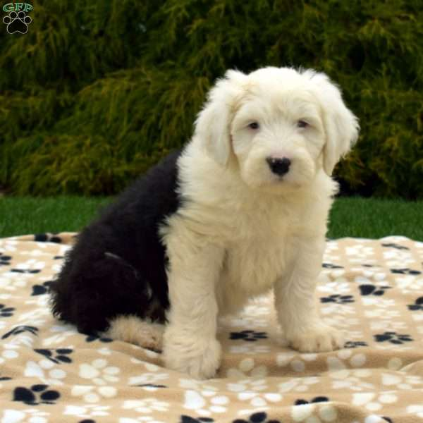 Sophie, Old English Sheepdog Puppy