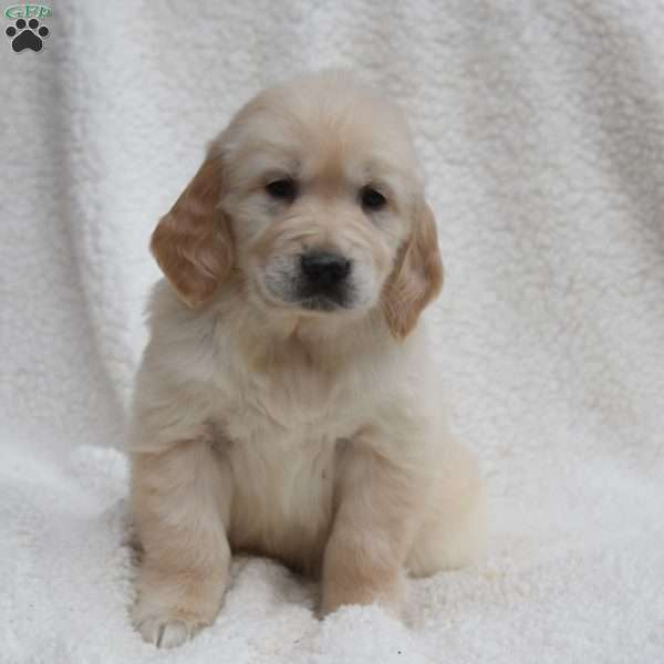 Spirit, English Cream Golden Retriever Puppy