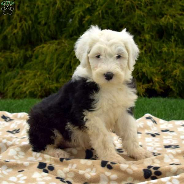 Starr, Old English Sheepdog Puppy