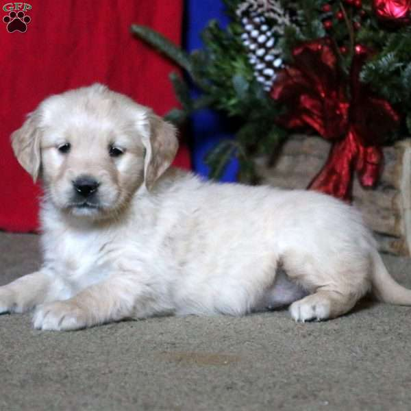 Sunshine, English Cream Golden Retriever Puppy