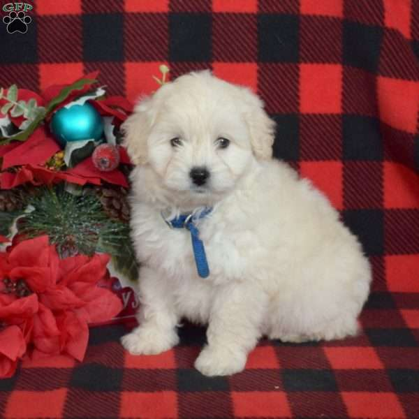 Taffy, Eskipoo Puppy