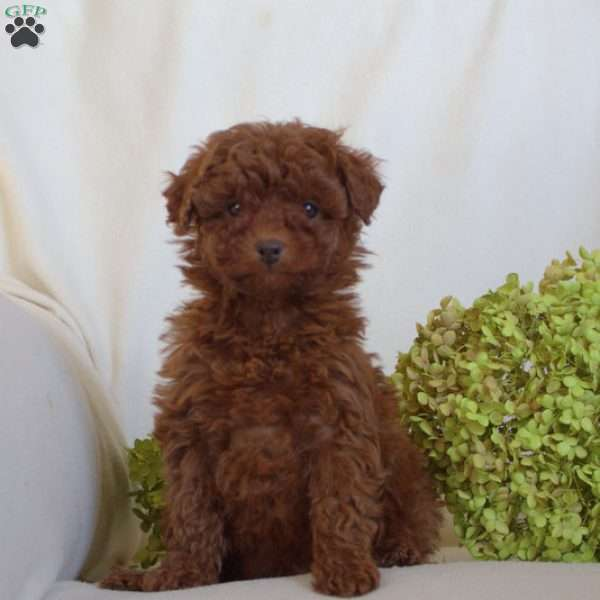 Tate, Toy Poodle Puppy