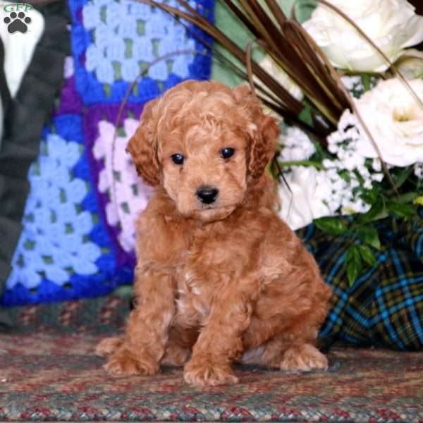 Timmy, Miniature Poodle Puppy