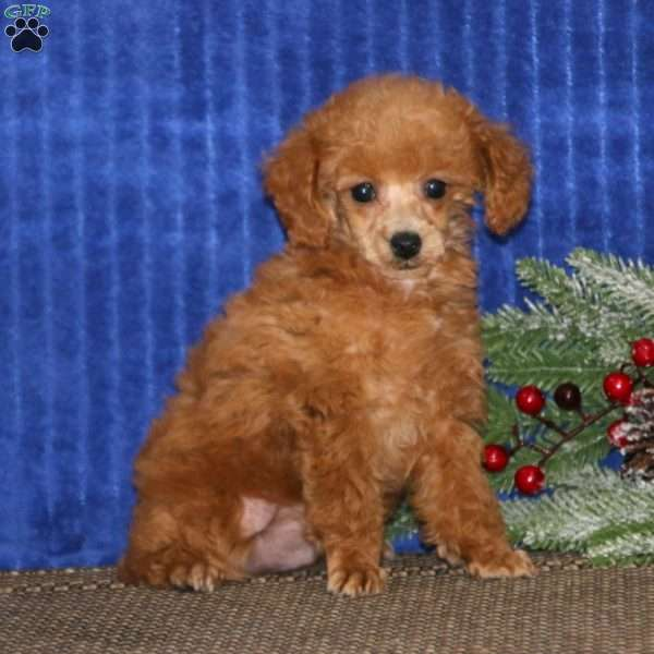 Tinker, Toy Poodle Puppy