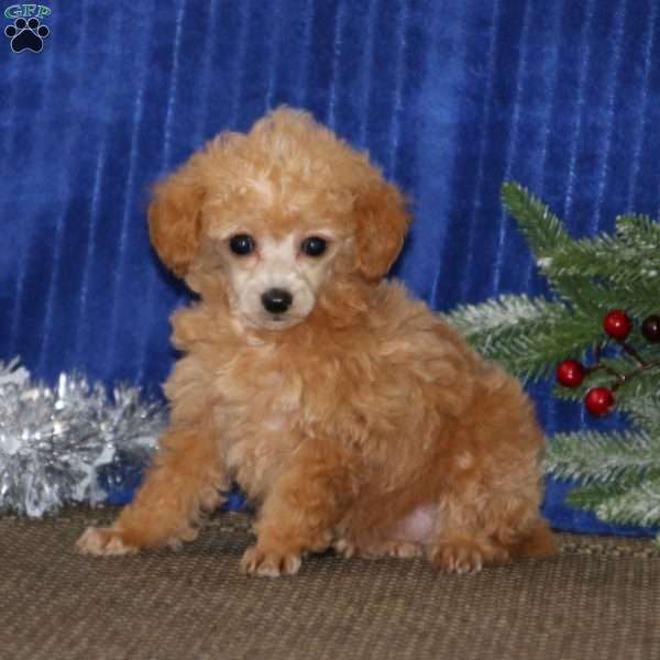 Tootsie, Toy Poodle Puppy