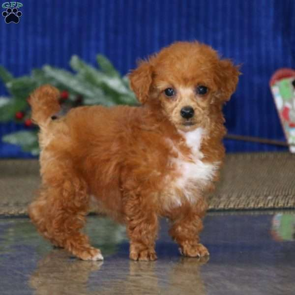 Truly, Toy Poodle Puppy
