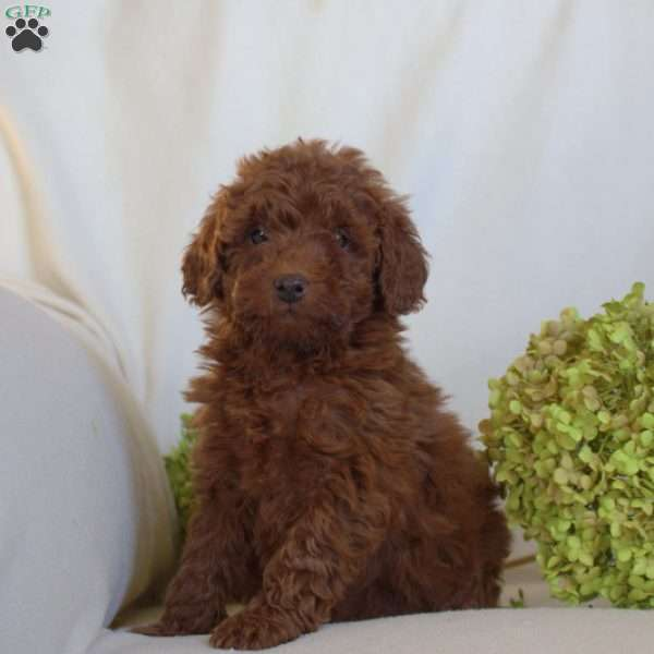 Tyson, Toy Poodle Puppy