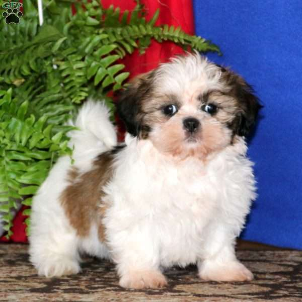 Wendy, Shih Tzu Puppy