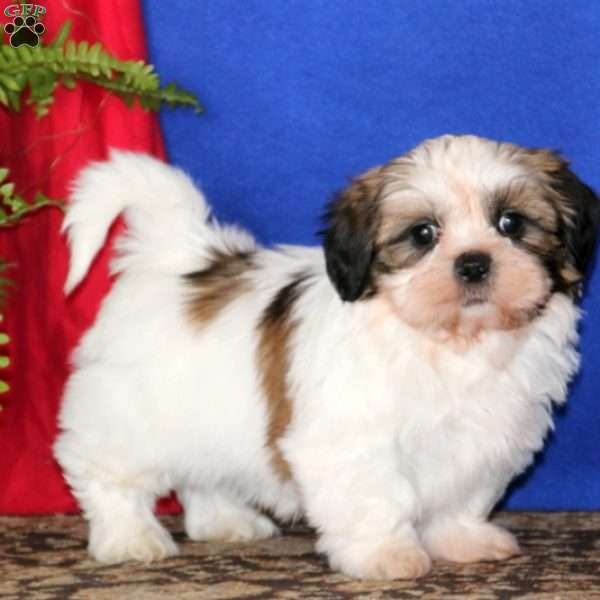 Will, Shih Tzu Puppy