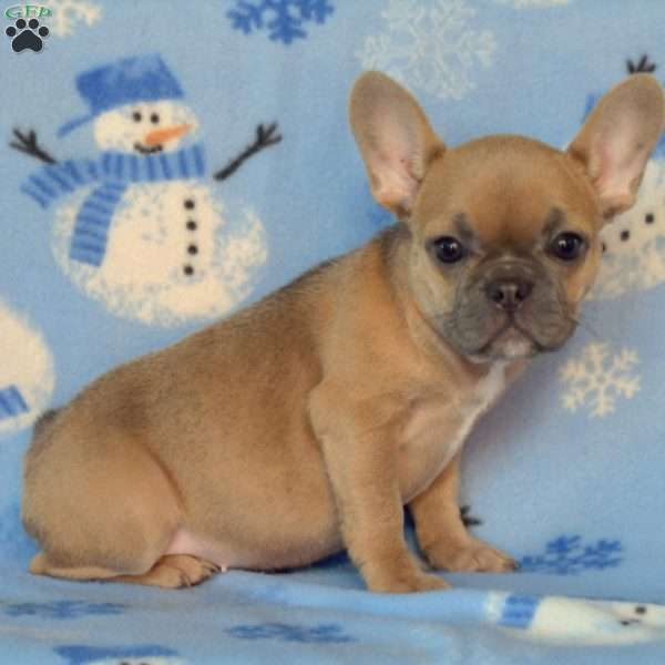 Zoey, French Bulldog Puppy