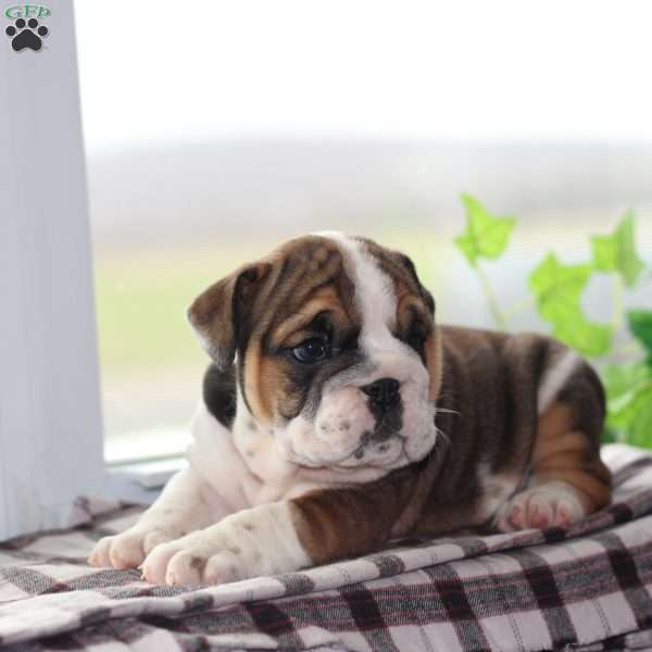 Addalyn, English Bulldog Puppy