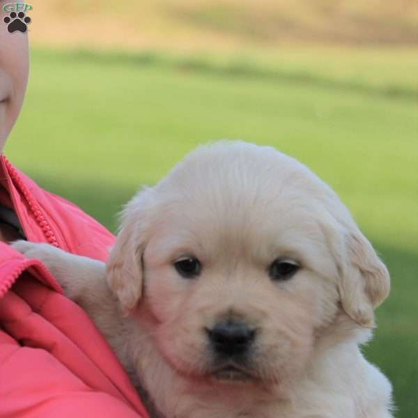 Cash, English Cream Golden Retriever Puppy