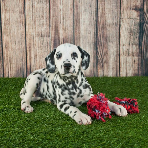 dalmatian puppy lying in front of a wood fence