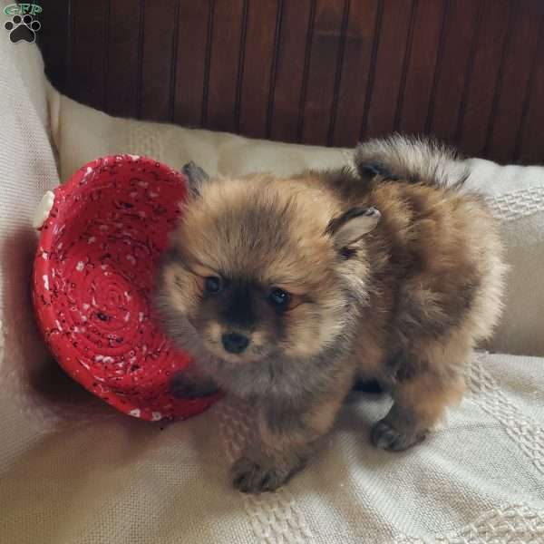 Dolly, Pomeranian Puppy