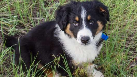 4 Things to Know About English Shepherd Puppies