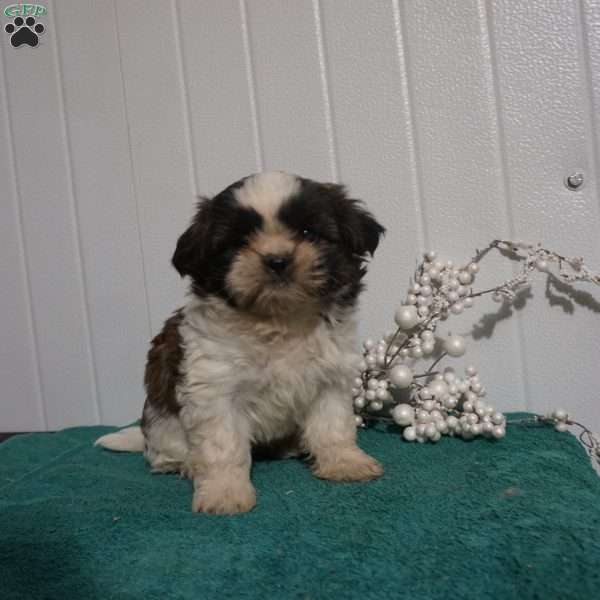 Katy, Shih Tzu Puppy
