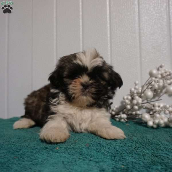 King, Shih Tzu Puppy