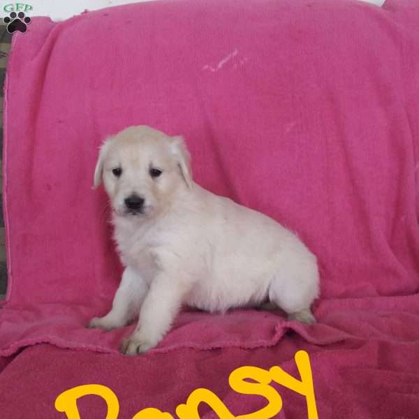 Pansy, English Cream Golden Retriever Puppy