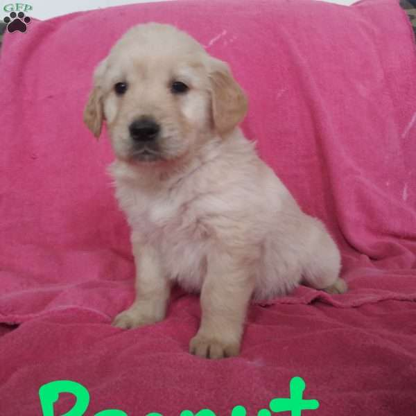 Peanut, English Cream Golden Retriever Puppy