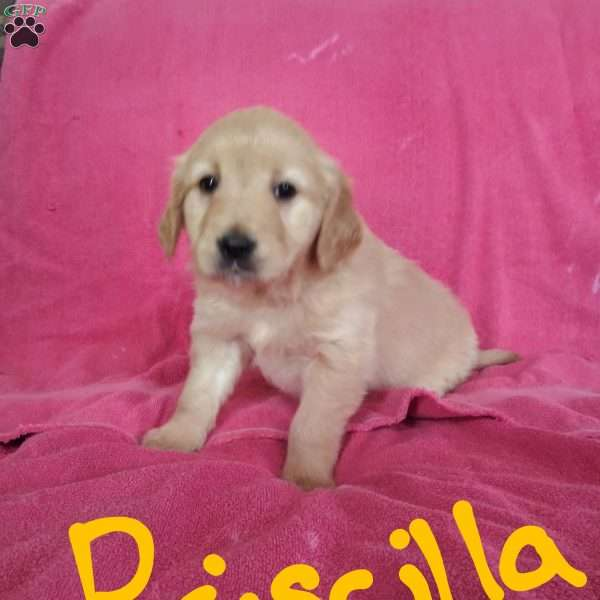 Priscilla, English Cream Golden Retriever Puppy