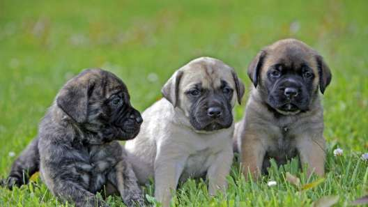 4 Things to Know About English Mastiff Puppies