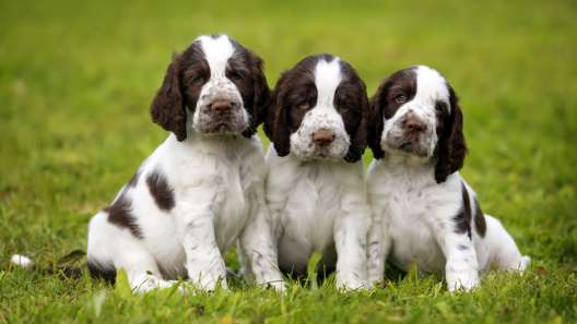 4 Things to Know About English Springer Spaniel Puppies