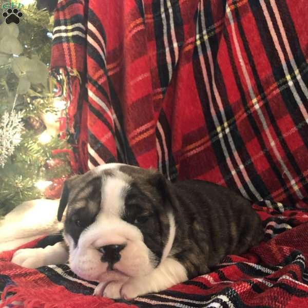 Trina, English Bulldog Puppy