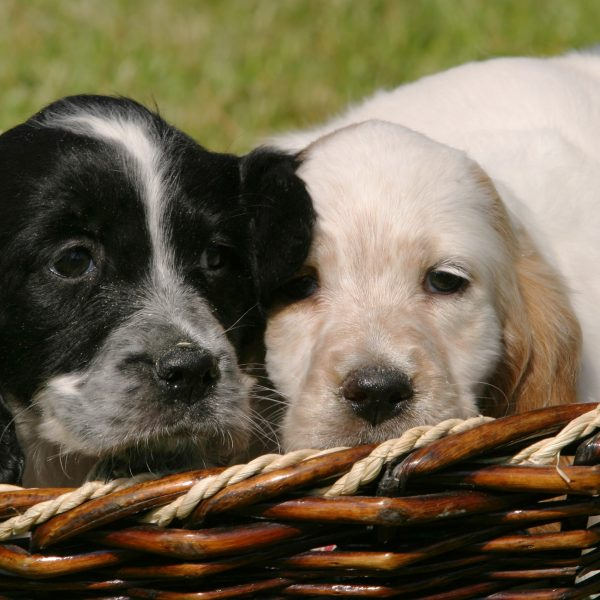 two english setter puppies in a basket