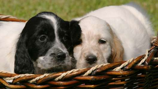 5 Things to Know About English Setter Puppies