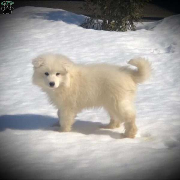 Roscoe, Samoyed Puppy