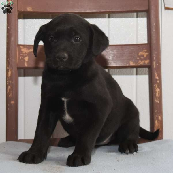 Alice, Labrador Mix Puppy