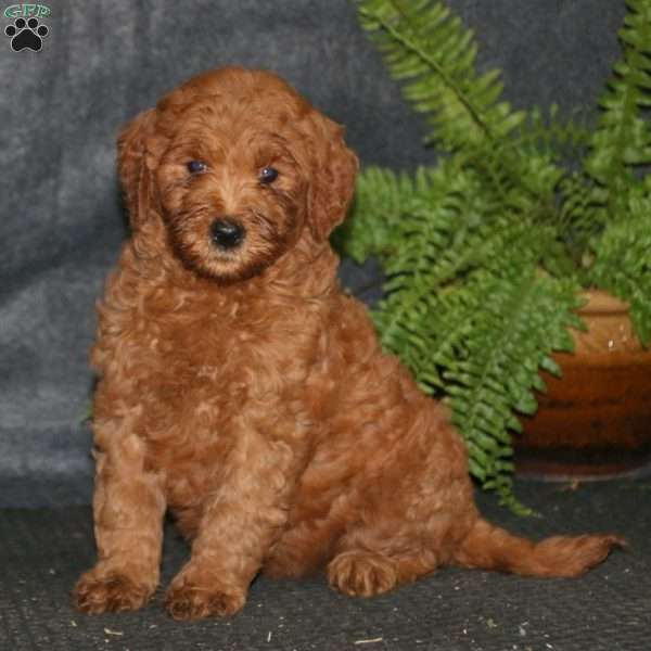 Amy, Goldendoodle Puppy