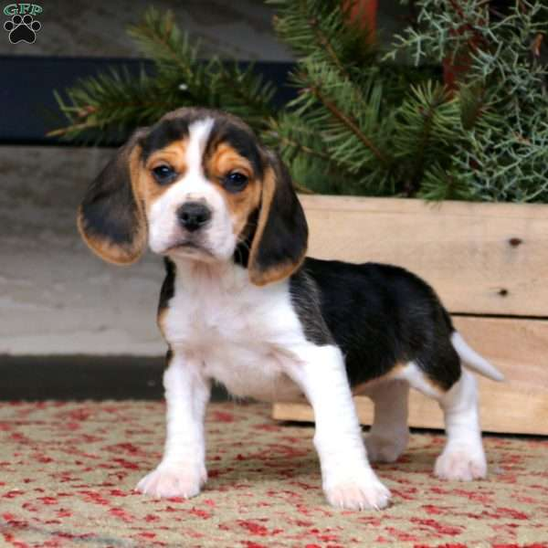Andy, Beagle Puppy