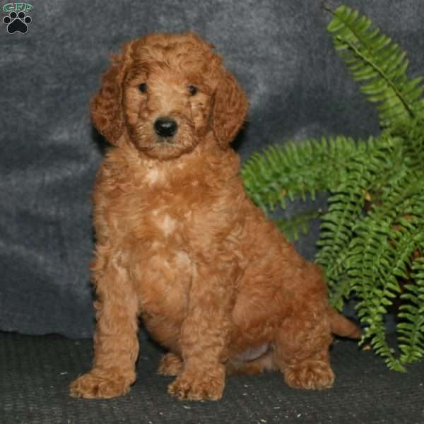 Andy, Goldendoodle Puppy