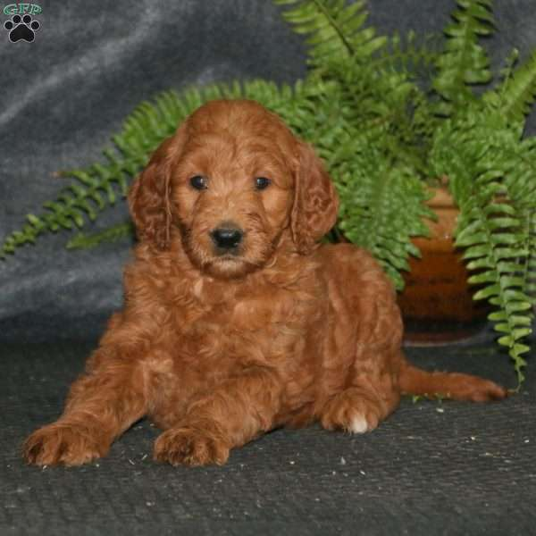 Angel, Goldendoodle Puppy