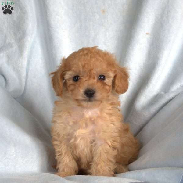 Apricot, Toy Poodle Puppy