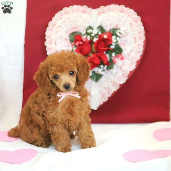 Beauty, Toy Poodle Puppy