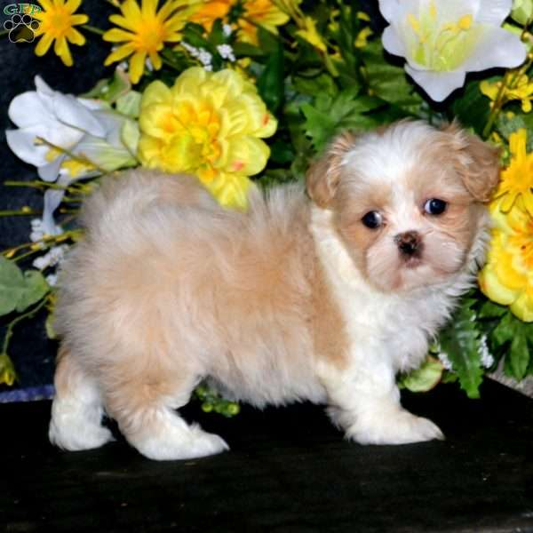 Beauty, Shih Tzu Puppy