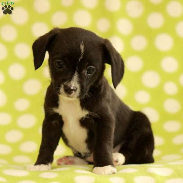 Bell, Chihuahua Mix Puppy