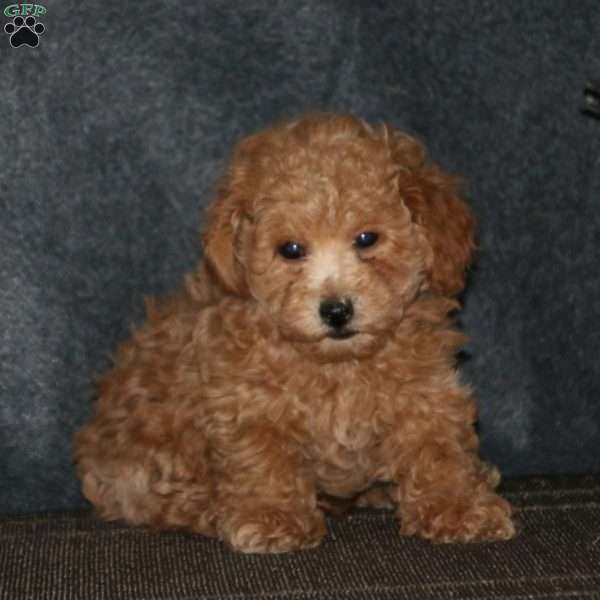 Benji, Toy Poodle Mix Puppy