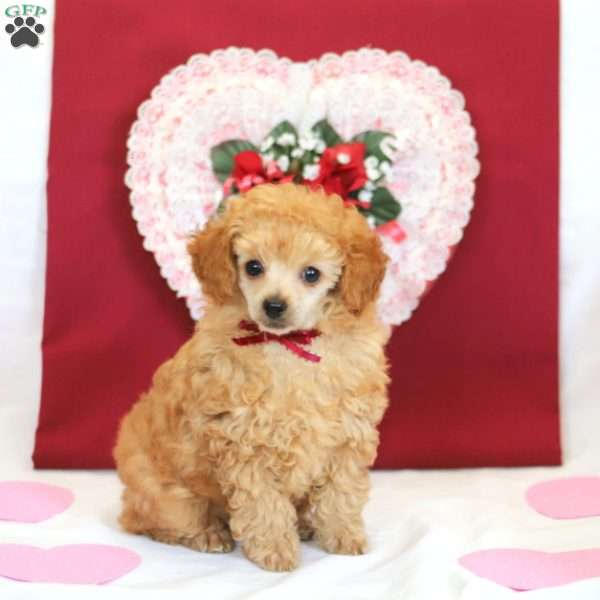 Blossom, Toy Poodle Puppy
