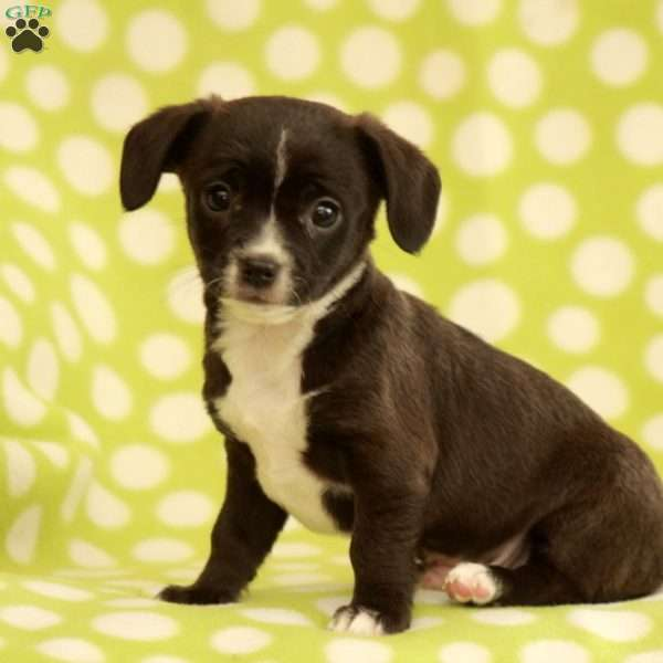 Brinkley, Chihuahua Mix Puppy
